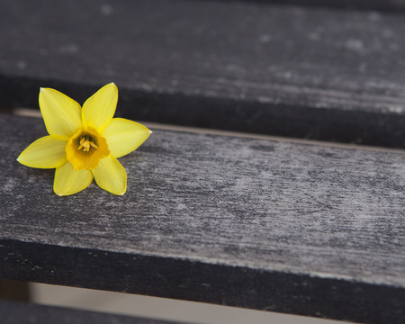Yellow daffodil on wood bench