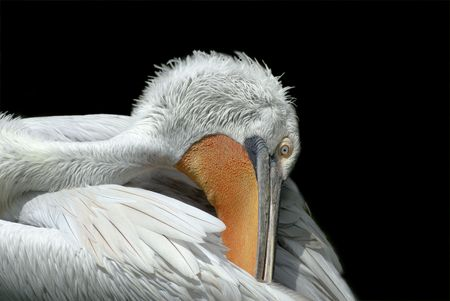 carding: A big pelican carding her feather in black background