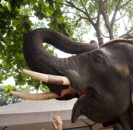 touched: thailand attraction elephant head with white teeth touched by hand Stock Photo