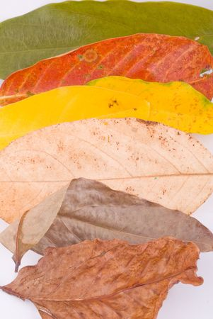 sapless: colorful autumn leaves isolated on white background