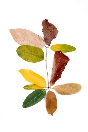 sapless: d'autunno le foglie colorate isolato su sfondo bianco