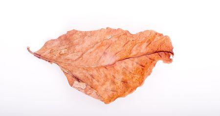 sapless: bella foglia d'autunno isolato su sfondo bianco Archivio Fotografico