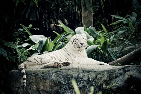 zoological: white stripe tiger in singapore zoological garden