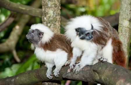 Cotton Top Tamarin in green tropical forest Stock Photo
