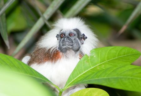 Cotton Top Tamarin in green tropical forest photo