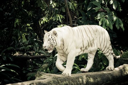 white stripe tiger in singapore zoological garden