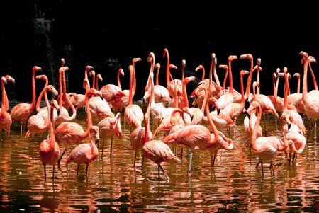 野生のプールで赤い南アフリカ フラミンゴのグループ 写真素材