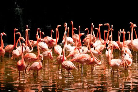 group of red south african flamingo in wild pool photo