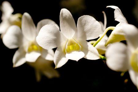 White Adisak orchid in singapore botanic garden Stock Photo - 5999268