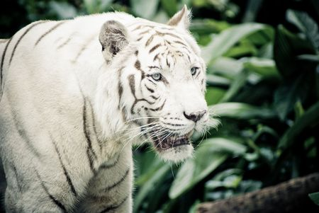 white stripe tiger in singapore zoological garden photo