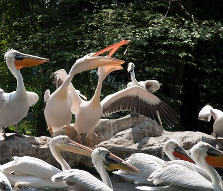 Group of white African pelican gather in pool photo