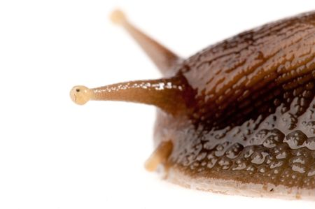 close up shot of live snail isolated on white background