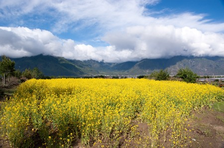 yellow oil flower in moutain valley with road passing by Stock Photo