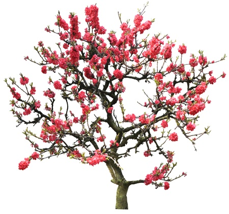 red plum flower tree isolated on white