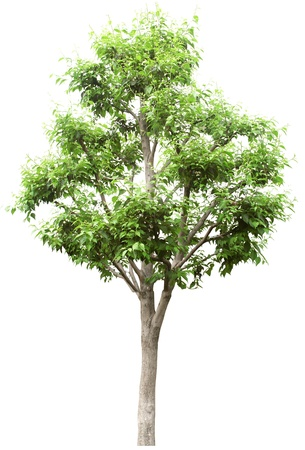 Green Tree without flower isolated on white in studio Stock Photo - 9653346