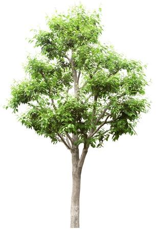 arboles frondosos: �rbol verde sin flor aislado en blanco en studio