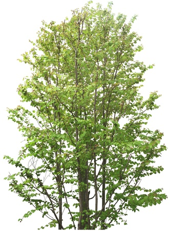 single tree: Green Tree without flower isolated on white in studio