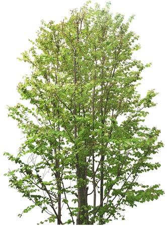 leafy trees: �rbol verde sin flor aislado en blanco en studio