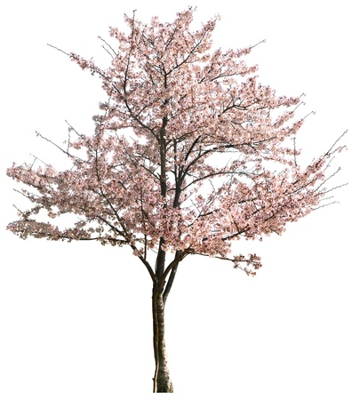 single tree: Pink Japanese apricot flower isolated on white in winter