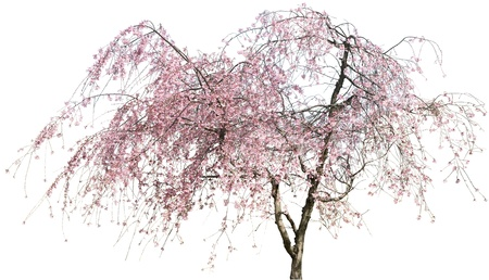 japanese apricot flower: Pink Japanese apricot flower isolated on white in winter