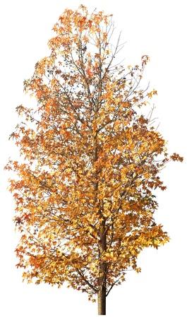 Golden autumn tree isolated on white in studio