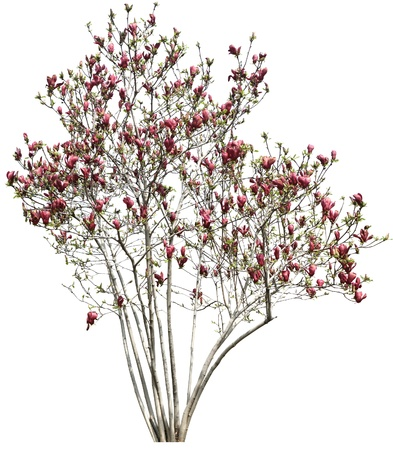 beautiful red flower tree isolated on white
