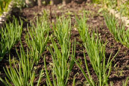 Kitchen-garden. Green onion sprouts. Ridge.