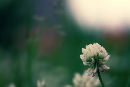 Floral summer background, soft focus. Blooming clover. Blurred background. Zdjęcie Seryjne - 118769638