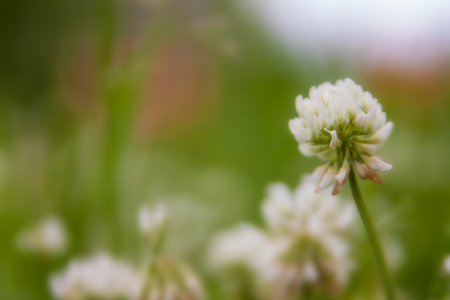 Floral summer background, soft focus. Blooming clover. Blurred background. Zdjęcie Seryjne - 118769642
