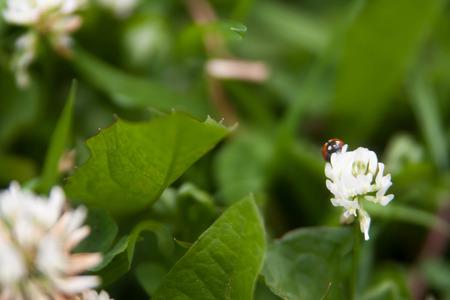 Floral summer background, soft focus. Blooming clover. Blurred background. Ladybug Zdjęcie Seryjne - 118769645