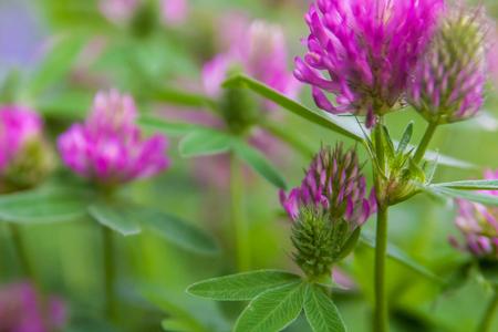 Floral summer background, soft focus. Blooming clover. Blurred background.