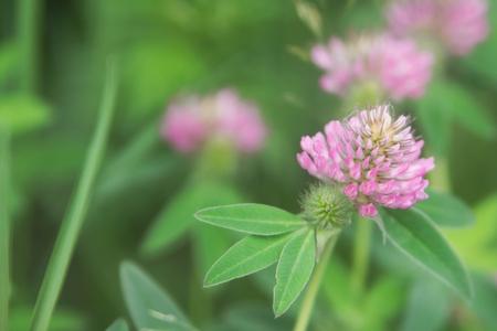 Floral summer background, soft focus. Blooming clover. Blurred background. Zdjęcie Seryjne - 118769702