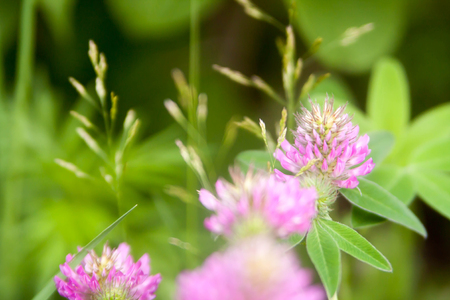 Floral summer background, soft focus. Blooming clover. Blurred background. Zdjęcie Seryjne - 118769716