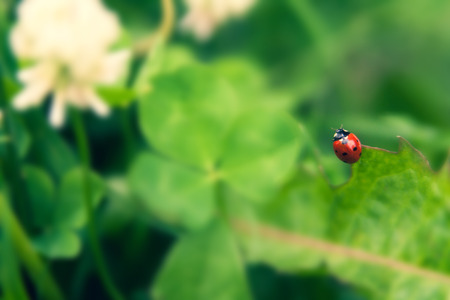 Floral summer background, soft focus. Blooming clover. Blurred background. Ladybug Zdjęcie Seryjne
