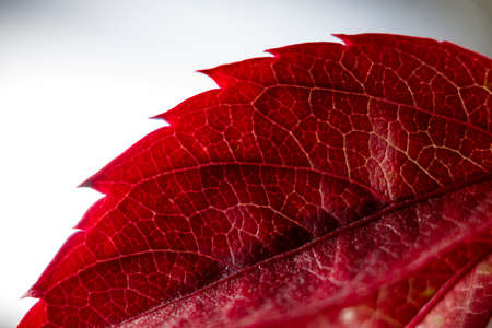 Beautiful red leaf close up in sunlight, autumn red leaf in macro photography. Beautiful autumn background.