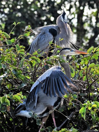 Two Great Blue Herons Stock Photo