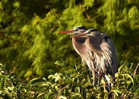 Two great blue herons mating Stok Fotoğraf