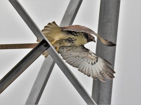Red tail hawk in take off flight