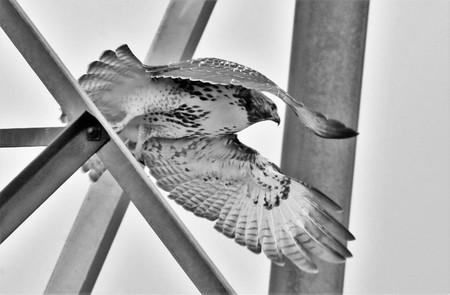 Black & white of red tail hawk in flight Stock fotó