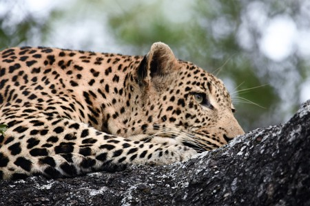 Leopard laying in a tree Stock Photo