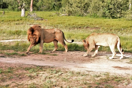Two lions in mating ritual