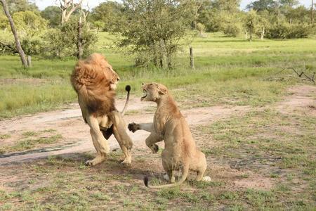 Two lions fighting Banco de Imagens
