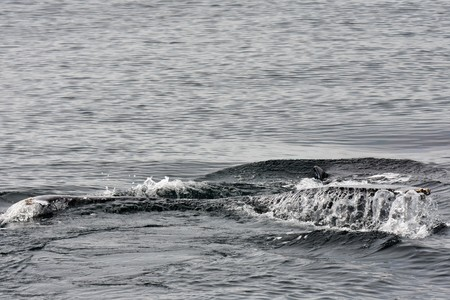 humpback whale skimming the surface