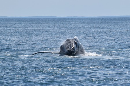 Humpback whale breaching the surface Stock Photo