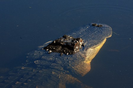 Alligator floating in the water