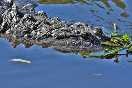 Alligator lurking in the water Stock Photo