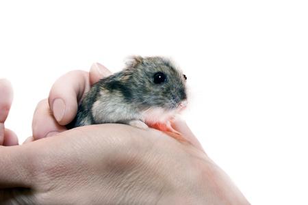 dwarf hamster: dwarf hamster in a human hand