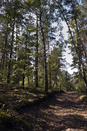 trail in a pine forest on a sunny day Stock Photo - 12745921