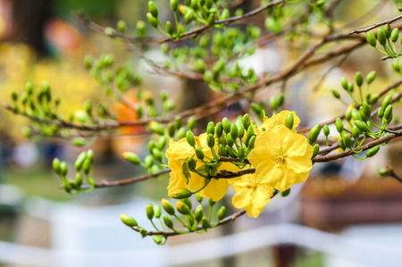 mickey: Mickey Mouse Plant (flower in Spring Viet Nam)