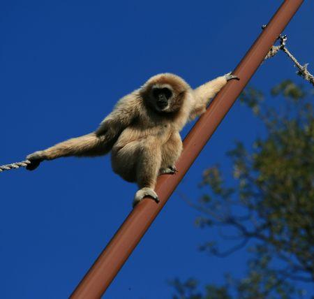 Loud shouting monkey in the zoo Stock Photo
